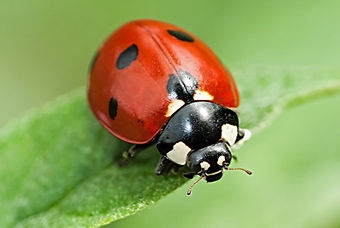 LadybugSittingOnGreenLeaf_socialpromo.jp