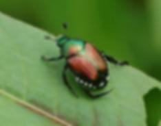 japanese-beetle-reddit.jpg