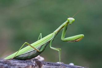 mantis-pr.jpg.860x0_q70_crop-scale.jpg