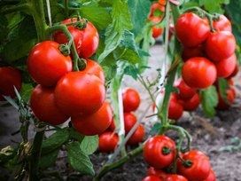 The Success Of Tomato Genius