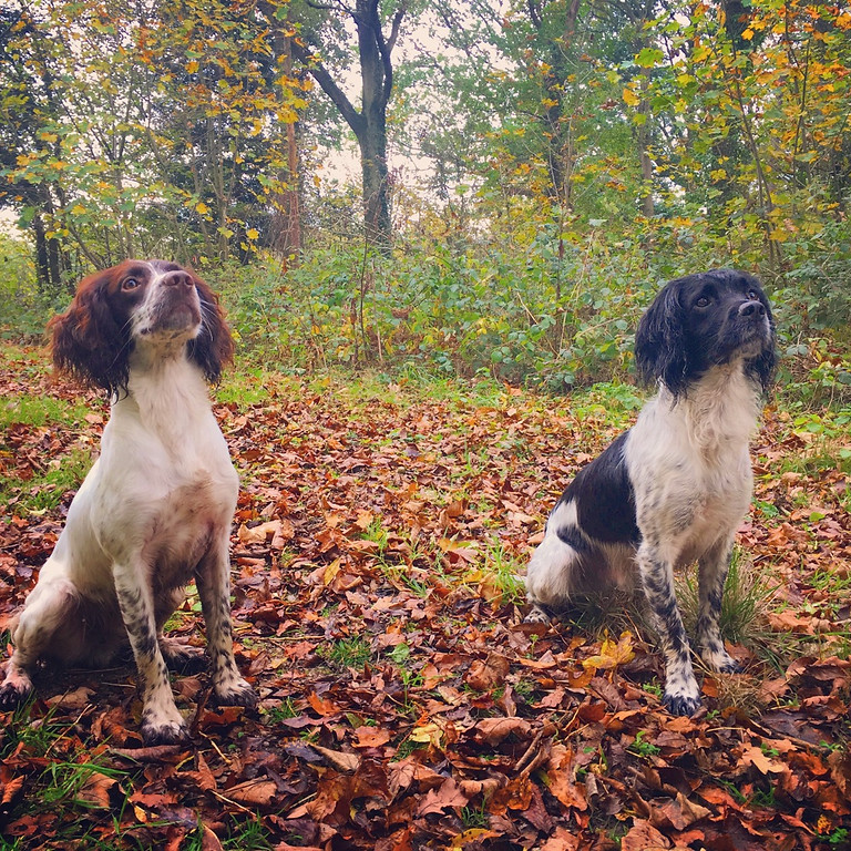 Spaniel working test and training day