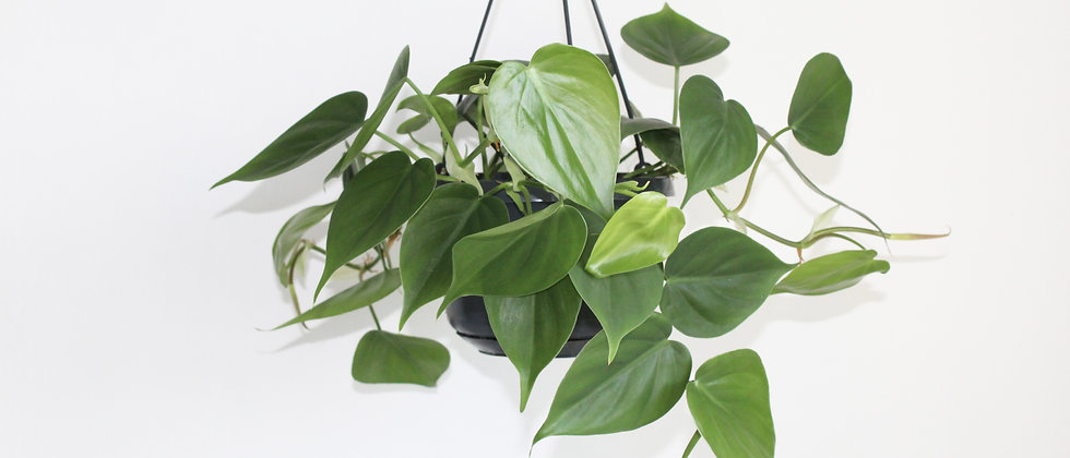 Phillip - Philodendron Scandens