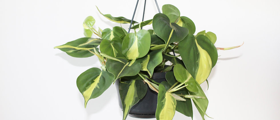 Paulo - Philodendron Scandens Brasil