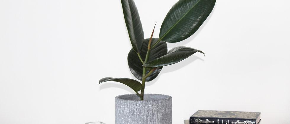 Roberta - Rubber Plant