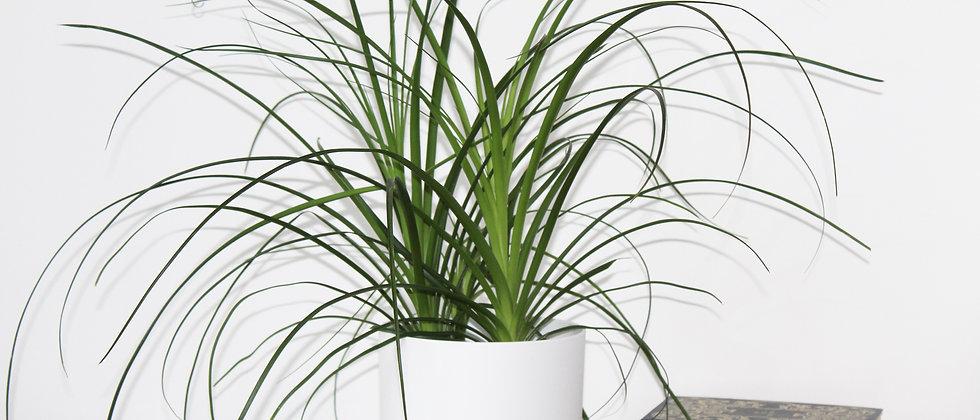 Pip - Ponytail Palm