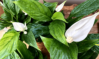 Peace Lily - Plantee Plant of the Month.