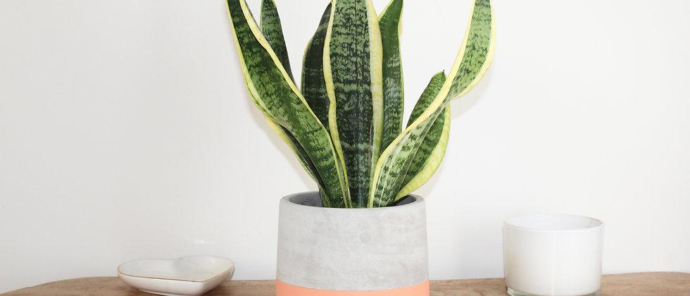 Sienna - Snake Plant