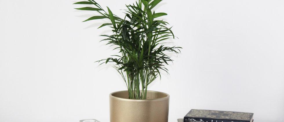 Parkour - Parlour Palm