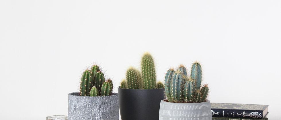 Kalvin - Cactus