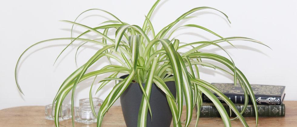 Sophie - Spider Plant