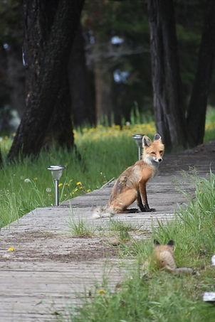Fircrest Foxes.jpg