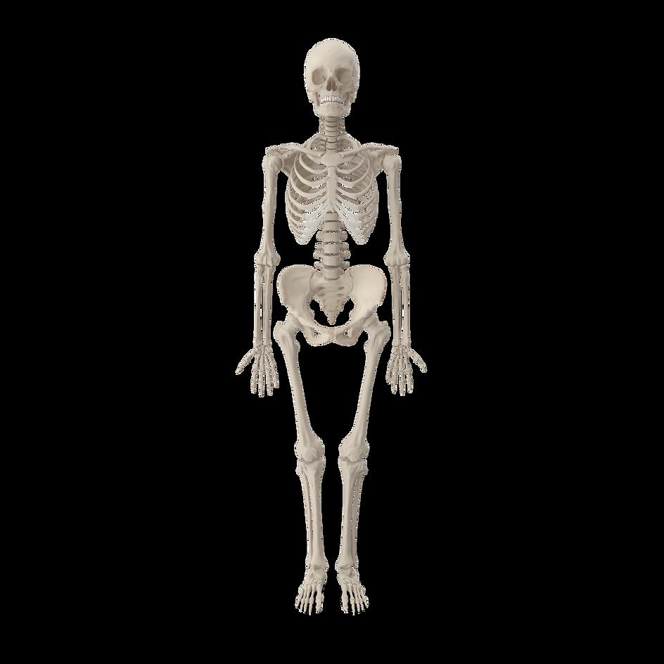 Female%20Skeleton.H01_edited.png