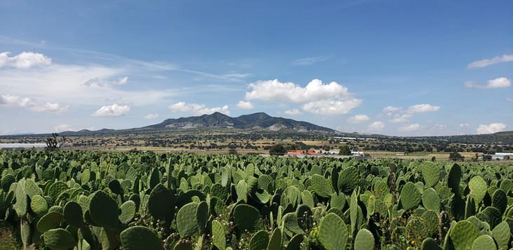Cultivos de Nopal Mexico
