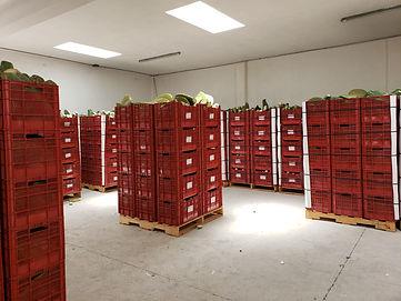 exportacion de nopal cactus contenedor.j