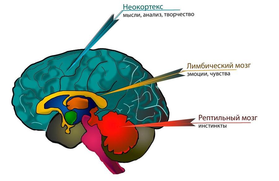 Триединый мозг (концепция Пола МакЛина)
