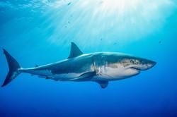 Shark in Dubai