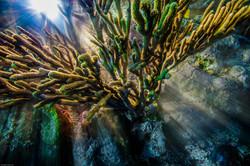 Key Largo Coral