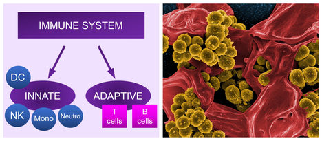 The incredible immune system - Louise Muller