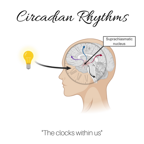 We have all likely heard of circadian rhythms, but what are they? - Katherine Hatcher
