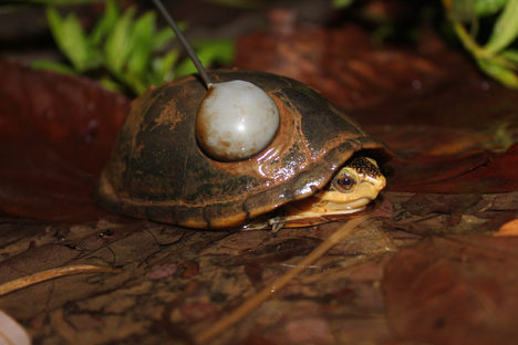 How do you track and take measurements from turtles? - Dillon Jones