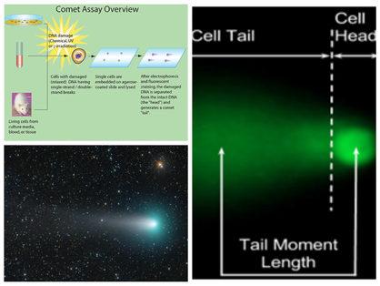 Comet assay - Marissa Calbert.