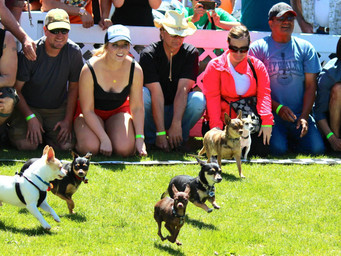 July 2016 - Extras: Running of the Chihuahuas 2016