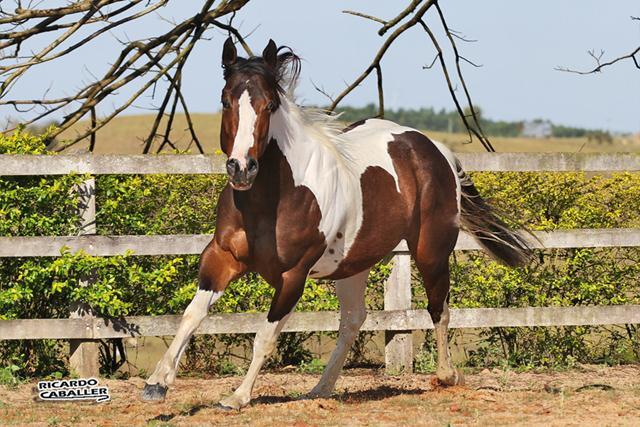 PAINT HORSE (1).jpg