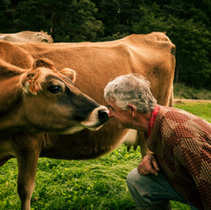Man and cow touch noses an image by Josie Gritten Photography