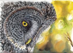 Owl Lapone