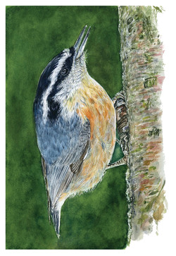 Red-haired Nuthatch