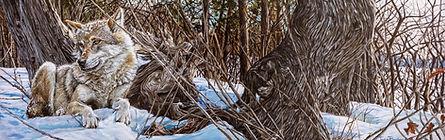 Coyote à l'île bizareweb.jpg