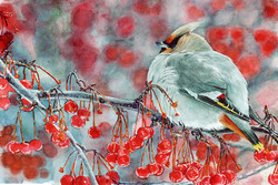 Waxwing of America