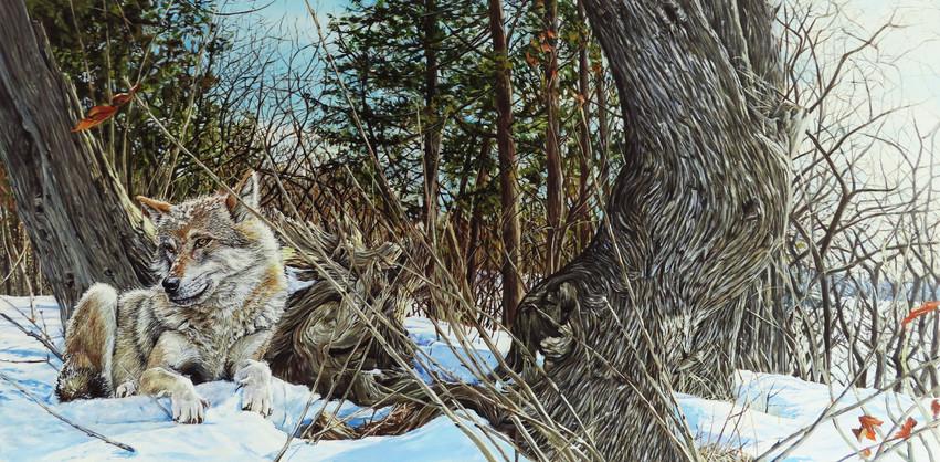 Coyote à l'Île Bizard