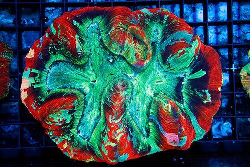 Indo Rainbow Welsophyllia WYSIWYG