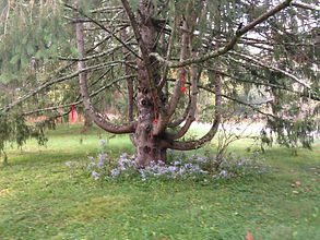 Grandmother Tree.JPG