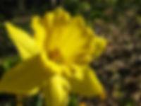 Daffodil - Beerly rupany.jpg