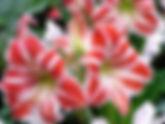 Amaryllis Flower 2.jpg