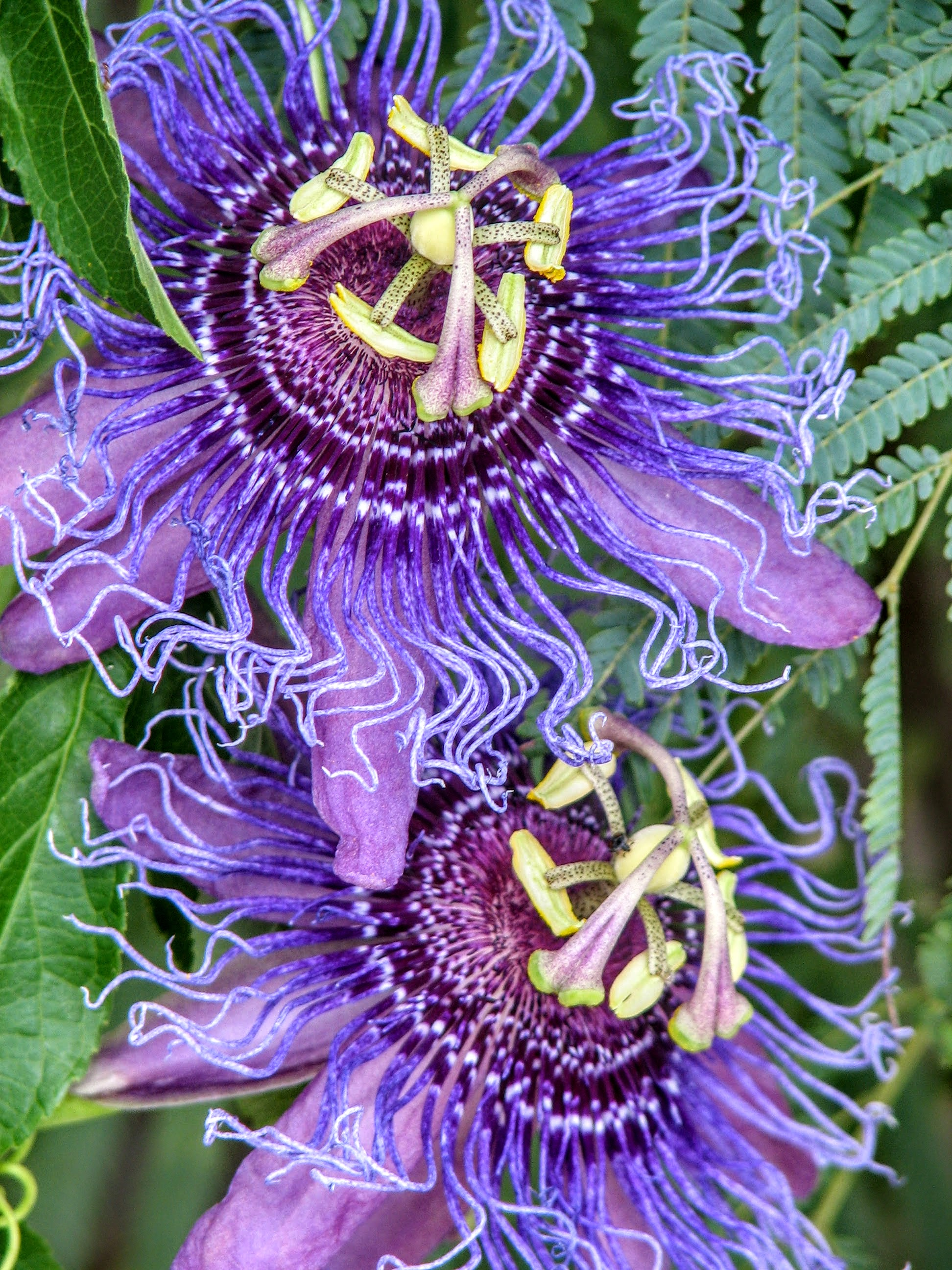 Passion Flower - Beverly Rupany