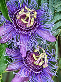Passion Flower - Beverly Rupany.jpg