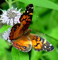 PaintedLady+on+blue+flowers.jpg