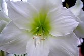 Amaryllis Flower 6.png