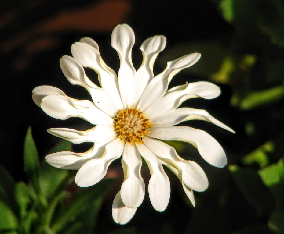 Osteospermum- Beverly Rupany