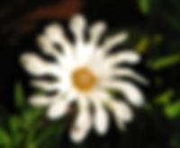 Osteospermum- Beverly Rupany.jpg
