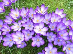 crocus_flower_violet
