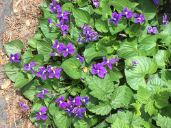 Carol's Violets