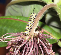 monarch caterpiller jpeg.jpg