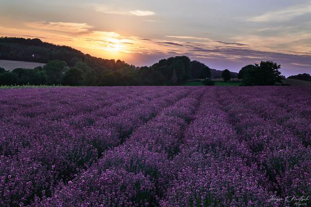 Lavendel Fromhausen-L1020558-Juli 23 202