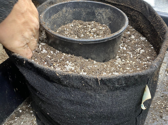 Using a pot to create a hole for the root ball to go into by using the pot it was planted in.