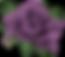 lavender rose.png