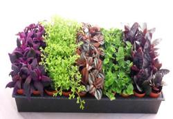 2 inch miniature plants